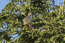 Island Collared Dove - Baluran NP - East Java MG 8086 (29181954484).jpg