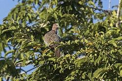 Island Collared Dove - Baluran NP - East Java MG 8086 (29181954484).jpg