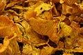 Jack-o'-Lantern Mushroom - Omphalotus olearius (43690268705).jpg