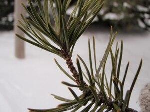 Jack pine - Foliage
