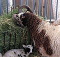 Jacob ewe and lamb eating hay.jpg