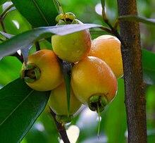 Frutos maduros de jambo-amarelo.