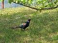 Japanese Green Pheasant キジ (255856217).jpeg