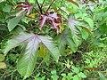 Jatropha gossypifolia - പേരറിയുമോ 02.jpg