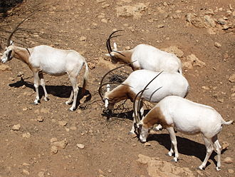 Jerusalem Biblical Zoo - Scimitar oryx roam in an open reserve.