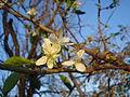 Jesenski cvat šljive.2.jpg