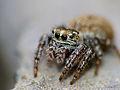 Jumping Spider (Salticidae) (14358623894).jpg