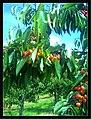 June Flower ^ Cherry Farming Endingen Kaiserstuhl - Master Seasons Rhine Valley Photography 2013 - panoramio (12).jpg