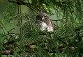Junger Sperlingskauz (Glaucidium passerinum), Ostbelgien (31644604572).jpg