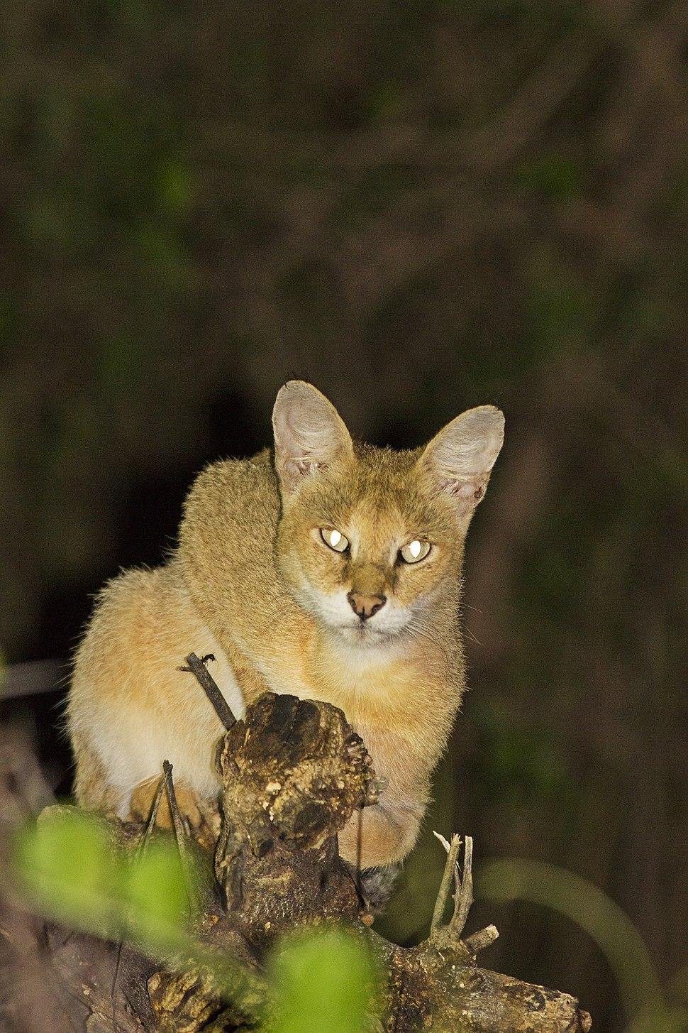 Jungle Cat near Thol Bird Sanctuary, Mehsana, Gujarat India