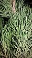 Juniperus chinensis 'Shimpku' at Akola2.jpg
