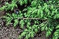 Juniperus communis Akureyri Botanical Gardens 5696.jpg