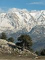 Juniperus excelsa Antalya 1.jpg