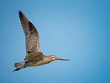 KIRKAMON-BAR TAILED GODWIT.jpg