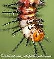 KL Ny Tawny Coster larva head 25 May 2008 (2538404414).jpg