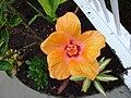 Kailua Orange Hibiscus.JPG