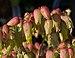 Kalanchoe laxiflora (70641).jpg