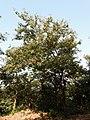 Kanchan tree Bauhinia variegata by Dr. Raju Kasambe DSCN0979 (8).jpg