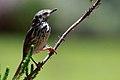Karoo Prinia (Spotted Prinia) (8418491807).jpg