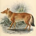 Keulemans Ethiopian Wolf.png