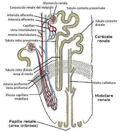 tratto renale