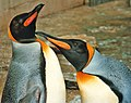 King Penguins at Birdland, Bourton on the Water, Gloucestershire - geograph.org.uk - 686641.jpg