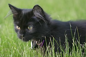 Black Persian Kitten Frolicking in Grass