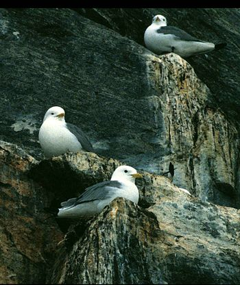 Kittiwake Cape Graham Moore 7 1995-06-10.jpg