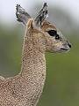Klipspringer, Oreotragus oreotragus at Kruger National Park (13945426735).jpg