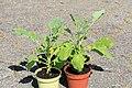 Kluse - Brassica oleracea var. ramosa - Ewiger Kohl 04 ies.jpg