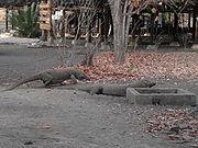 Two Komodo Dragons photographed on Komodo Island