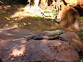Komodo dragon, Asia (Disney's Animal Kingdom) 2.JPG