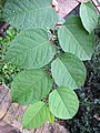 Korina 2014-09-24 Fallopia japonica 1.jpg