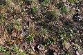 Korina 2015-03-29 Mahonia aquifolium 6.jpg
