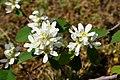 Korina 2016-05-01 Amelanchier alnifolia.jpg