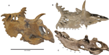 Brown dinosaur skull with many horns in three views