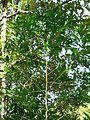 Kraussia floribunda, habitus, Krantzkloof NR.jpg