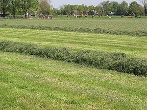 Windrow - Grass for silage in a windrow awaiting collection.