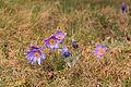 Kvetoucí koniklece v PP Kobylinec 13.jpg