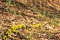 Kvetoucí sněženky v PP Sněženky ve Vysokém lese 02.jpg