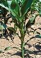 LPCC-787-Planta de blat de moro.jpg