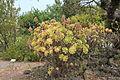 La Palma - El Paso - Carretera General Padron - Centro de visitantes de El Paso - Jardin Botanico - Aeonium holochrysum 02 ies.jpg