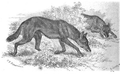 La vita degli animali descrizione generale del regno animale di A. E. Brehm Mammiferi (1872) Canis simensis.png