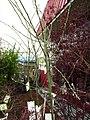 Laburnum × watereri (Goldenchain tree)- invasive plant sold in stores.jpg