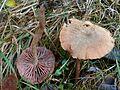 Laccaria bicolor G7.jpg