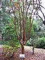 Lagerstroemia indica tree.JPG