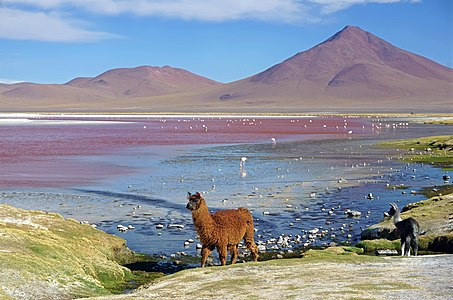 A female llama with her cria at Laguna Colorada.