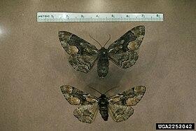 Lambdina pellucidaria.jpg