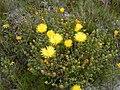 Lampranthus glaucus.jpg