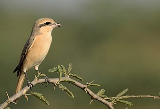 Isabelline shrike -  wintering in Great Rann of Kutch